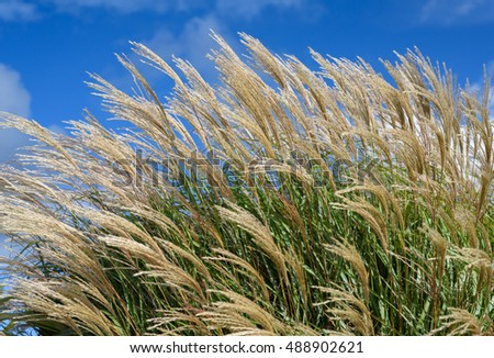 Grasses blowing in the wind against a blue sky.