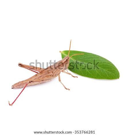 Grasshoppe - stock photo