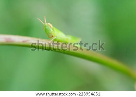 Grasshopper, a bright green grasshopper nymph sitting on a lichen covered branch - stock photo