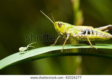 Grasshopper and a small spider on the grass - stock photo