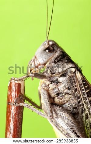 grasshopper, close-up, portrait - stock photo