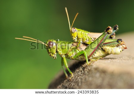 Grasshopper couple, Location is the Chiba Prefecture of Japan