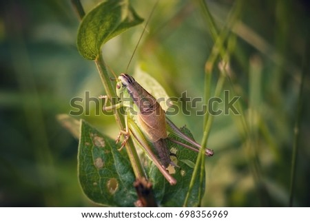 Grasshopper. Cricket insect.