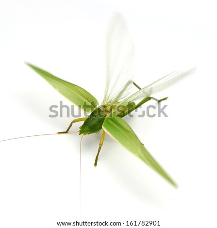 grasshopper fly on white background - stock photo