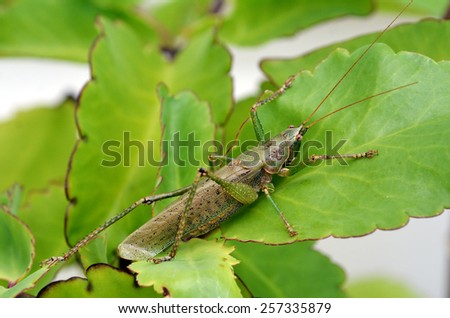 Grasshopper (green) sit on a green plant leaf  camouflage itself in the nature. close up. - stock photo