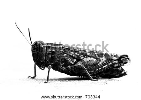 Grasshopper in B/W - stock photo