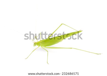 Grasshopper in front of white background  - stock photo