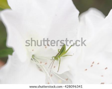 Grasshopper in the white azalea - stock photo
