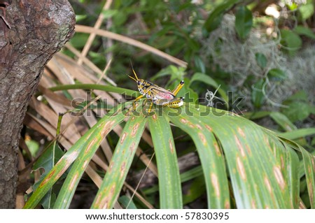 Grasshopper in Theodore Roosevelt Wilderness Area in Timucuan Ecological and Historic Preserve in Jacksonville, Florida. - stock photo