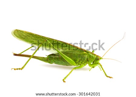 grasshopper isolated on white. - stock photo