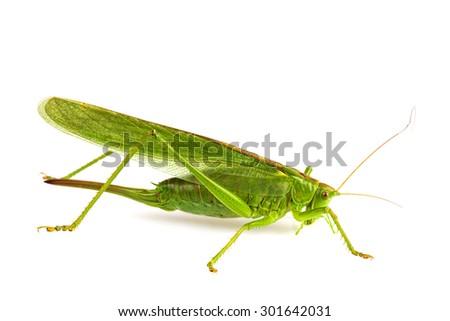 grasshopper isolated on white. - stock photo