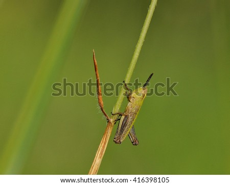 grasshopper on a blade of grass in nature - stock photo