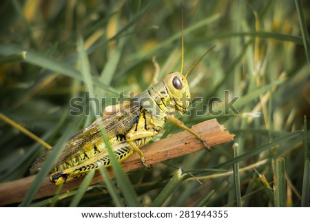 Grasshopper on a stick in the grass - stock photo