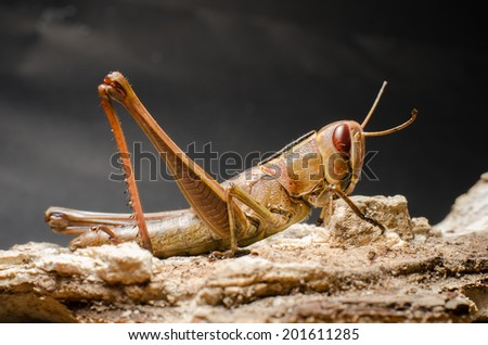 grasshopper on bark.