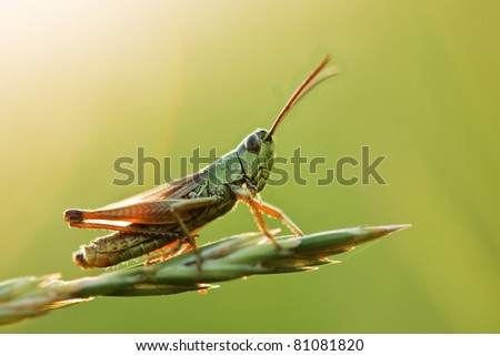 grasshopper on grass close up - stock photo