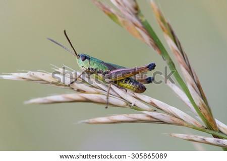 Grasshopper on long stalk of grass/Grasshopper/Grasshopper (chorthippus parallelus) - stock photo