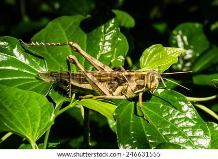 Grasshopper on the green leaf. - stock photo