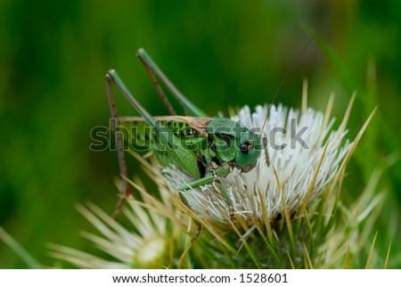 Grasshopper on thorn - stock photo