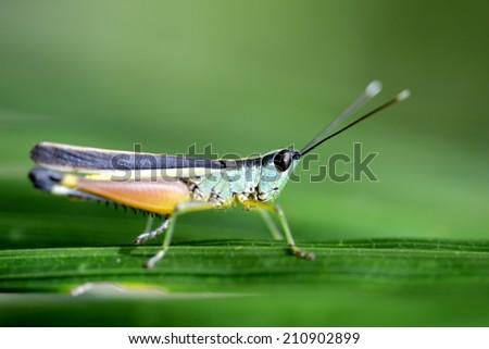 Grasshopper or Green-Black Cricket on grass leaf  - stock photo