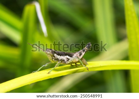 Grasshopper perched on a leaf - stock photo