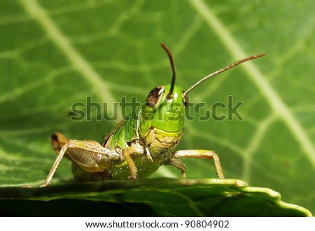 Grasshopper perching on a leaf - stock photo