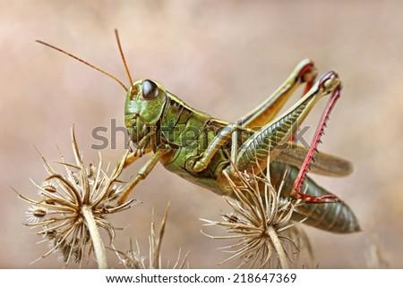 Grasshopper perching on wild dry flower - stock photo