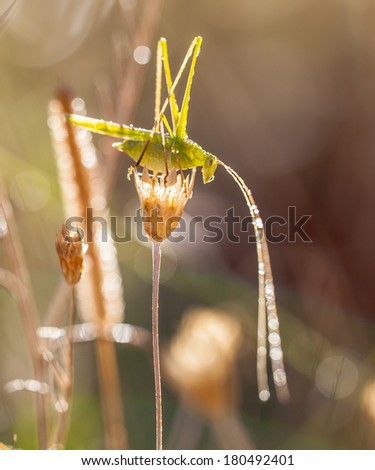 Grasshopper (Phaneroptera falcata)under Dew in the Back Lit Morning Sun