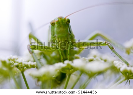 Grasshopper portrait on the white flowers in sky blue background - stock photo