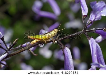 Grasshopper resting on the branch - stock photo