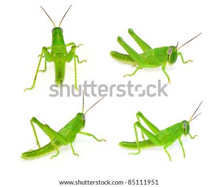 grasshopper set - stock photo