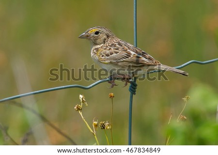 Grasshopper Sparrow perched on a page wire fence.