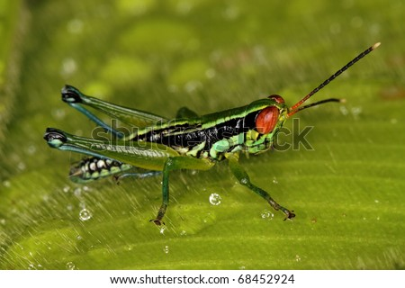 Grasshopper with red eye in the leaf - stock photo