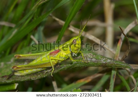 Grasshopper with red wings - stock photo