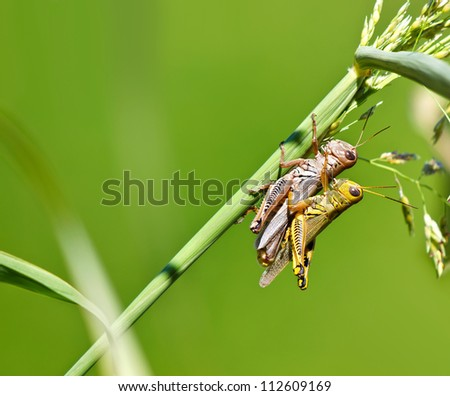 Grasshoppers in love. A pair of grasshoppers mating on a grass blade. Natural green background with copy space.