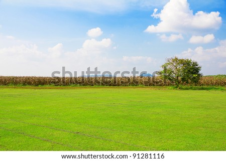 grassland and corn field on blue sky background - stock photo