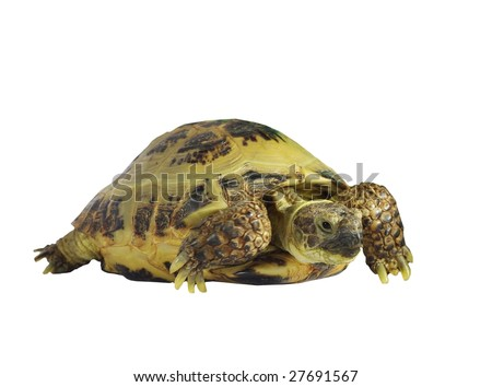 grassland tortoise on white background