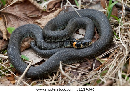 Grassy snake closeup against dry leaves background