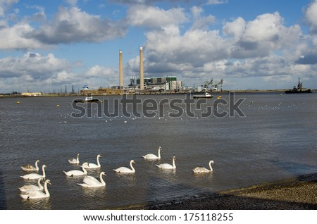GRAVESEND, KENT, UK - FEB 4, 2014:  Mute Swans on the River Thames with the mothballed Tilbury Power Station in the background, - stock photo