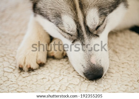 Gray Adult Siberian Husky Dog (Sibirsky husky) sleeping in his bed - stock photo