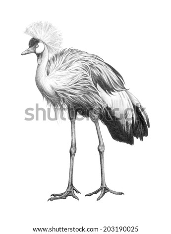 gray African crested crane, hand drawn bird illustration of crowned crane, charcoal pencil sketch drawing of bird from Africa isolated on white background, clip art bird - stock photo