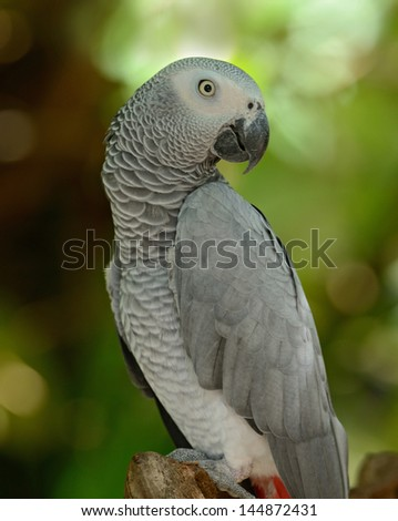 Gray African Parrot - stock photo