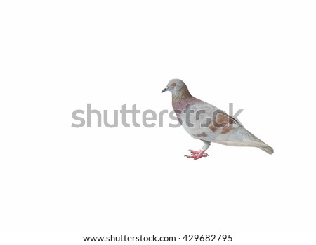 Gray and Brown Dove stood staring for food, Bird stand and prepare fly. isolated on white background - stock photo