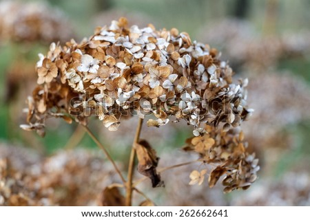 Gray and brown dry wild flower in autumn - stock photo