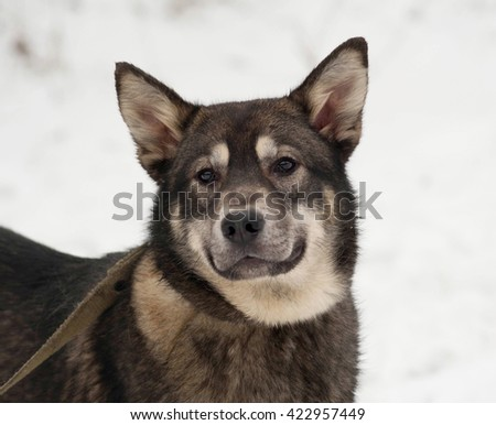 Gray and white dog standing in white snow