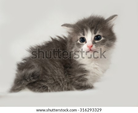 Gray and white fluffy kitten sits on gray background