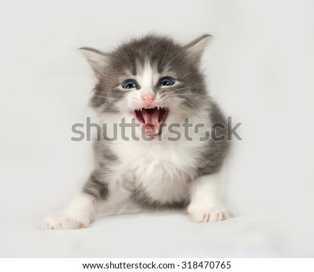 Gray and white fluffy kitten sits on gray background - stock photo