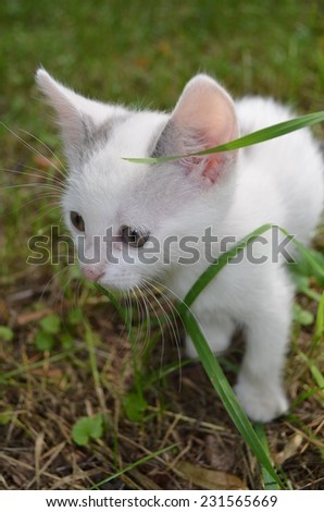 gray and white kitten in the grass