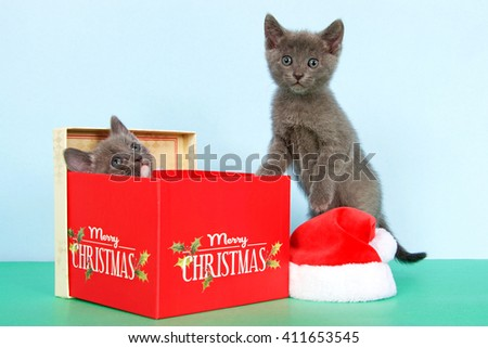 gray and white tabby kitten in a red Christmas box, all gray kitten standing next to box with paws on it, small santa hat on green table with light blue background - stock photo