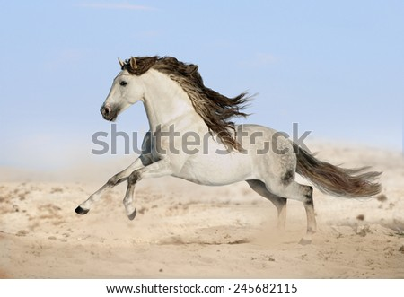 gray Andalusian horse in desert  - stock photo