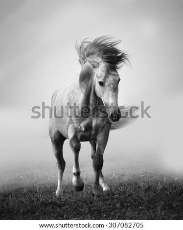 gray andalusian stallion playing in the myst - stock photo